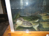Beloit College snapping turtle